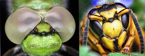 глаза пчелы мухи