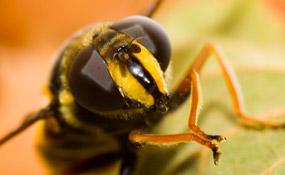 Сколько глаз у мухи или пчелы?